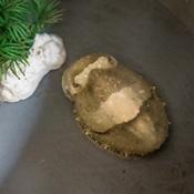 La seiche aussi se projette dans le futur : la preuve par la nourriture