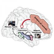 Le cerveau face au stress post-traumatique